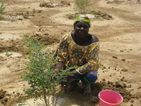 acacia-planting-in-the-inner-niger-delta-wprp-mali