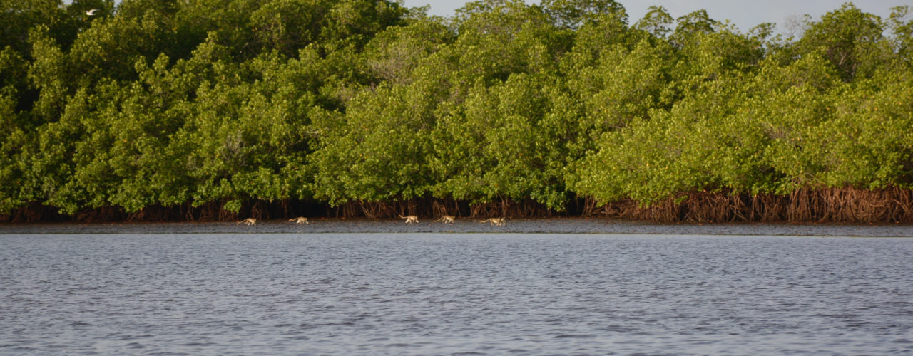 Groupe de singes verts dans les mangroves