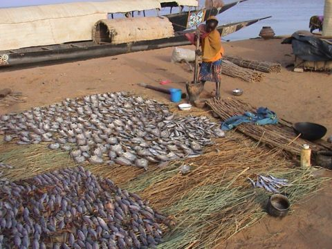 Le barrage de Fomi, sans nouvelle irrigation, aura de graves répercussions sur les prises de poisson commercialisées dans le Delta intérieur du Niger qui représente actuellement 80 % du commerce national de poisson.